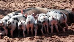 Venda Permanente de Suínos em geral, Porcas, Leitões