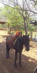 Égua preta