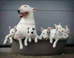 Bull Terrier Lindos Fihotes