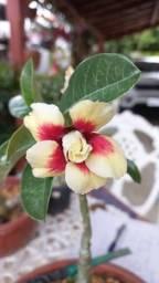 Rosas do deserto enxertadas