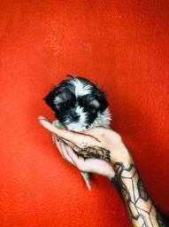 lhasa apso- os filhotes mais lindos!!!!
