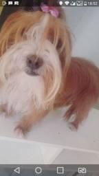 Yorkshare terrier