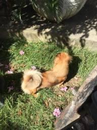 Cachorrinha pequinês