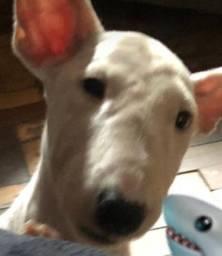 Filhote Macho de Bull Terrier branco
