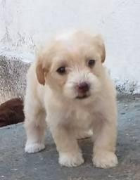 Lindos cachorros Poodle porte pequeno
