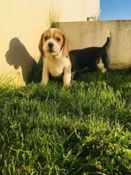 Lindos filhotes de Beagle 13 polegadas.