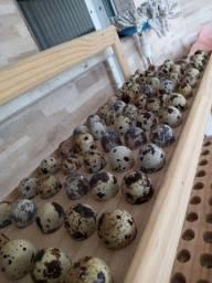 Codorna gigante e ovos galado