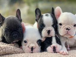Adoráveis filhotes de Bulldog Francês