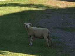 Ovelha viva Guarapuava