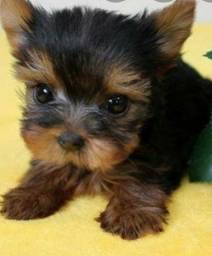 Promocao- Yorkshire Terrier Miniatura