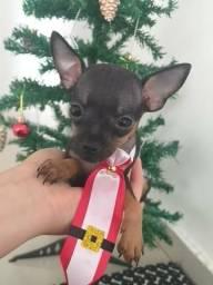 Pinchers Macho Miniatura GOLD Dog