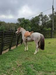Lindo Cavalo Crioulo