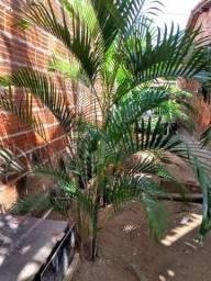 Palmeiras para da mais beleza o seu jardim ou a frente da sua casa