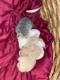 Vende-se filhotes gato Persas Anápolis