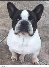 Filhote de Bulldog francês promoção
