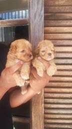 Poodle machos e fêmea disponíveis