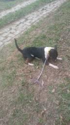 Bull terrier fêmea jovem PROMOÇÃO