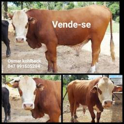 Vende-se Touro Red Angus