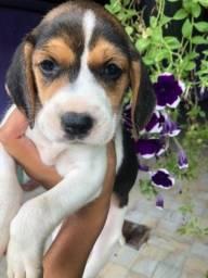 13 Polegadas! Beagle Filhote com Pedigree + Garantia de Saúde