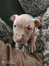 Pitbull filhote de 42 dias