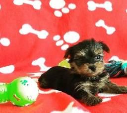 Yorkshire Terrier tamanho micro e padrão disponíveis em loja, com pedigree,