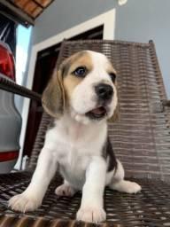 Lindíssimos filhotes de beagle