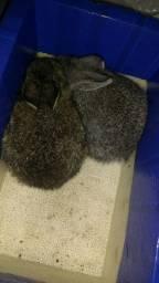 Vendo filhote de coelho por 15 reais