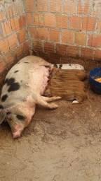 Vendo porco só tenho 2