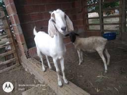 Vendo uma ovelha e uma cabra