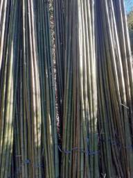 Bambu para planta tomate