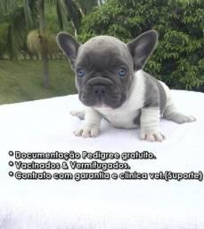 Filhotes bulldog frances