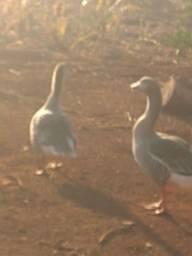 Vendo casal de galinha d Angola e casal de gansos