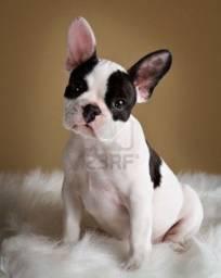 Bull dogue Frances