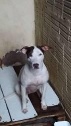 Cachorra pitbull com bull terrier,docil ,ela tem 1 ano e 2 meses