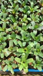 Plantas para jardim ornamentais, florestais e frutíferas