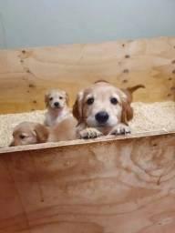 Filhotinhos de Golden Retriever à pronta entrega com garantias!
