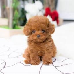Lindos Poodle cães já disponíveis vacinados