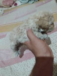 Poodle micro-toi número 0 macho