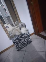 Procuro namorada para o meu cachorrinho, porte médio da raça lhasa apso!!