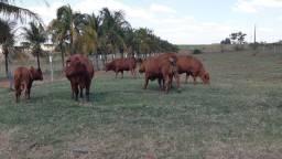 Touro e vaca Senepol - 40 x e frete gratis