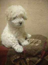 Cachorro poodle 1 fêmea número 1