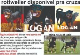 Rottweiler disponível pra cruza, com pedigree cbkc