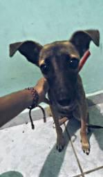 Doação de cachorrinha mestiça de pinscher