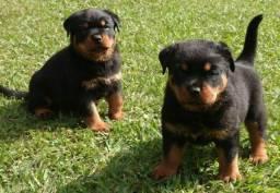 Lindos filhotes de Rottweiler, disponível em loja.