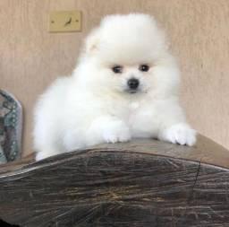 Lulu da Pomerania Macho Branco Disponível