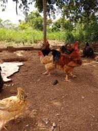 Vendo Pintinhos, ovos caipira e frangos caipira