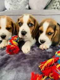 Beagle filhote 13 polegada