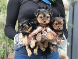 Yorkshire Terrier somos uma das maiores lojas de cachorros!