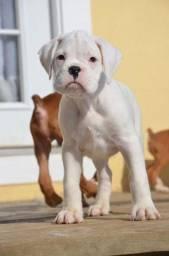 Lindo Filhotinho Boxer