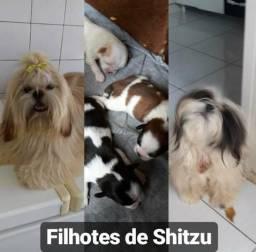 Vendo filhotes de Shitzu
